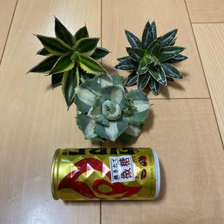 アガベ 笹の雪+五色万代+王妃白中斑3株セット‼️(その他)