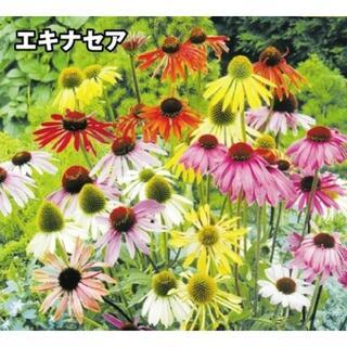 【切花やドライフラワーにも‼】エキナセアパラディーソミックス 種10粒(ドライフラワー)