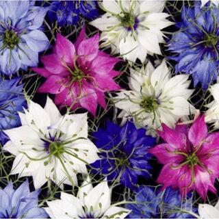 【ユニークな花姿!!】黒種草ミックス 20粒 切花やドライフラワーに最適!!(ドライフラワー)