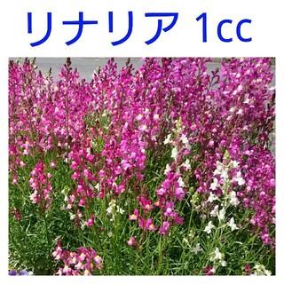 リナリア種 1cc(その他)