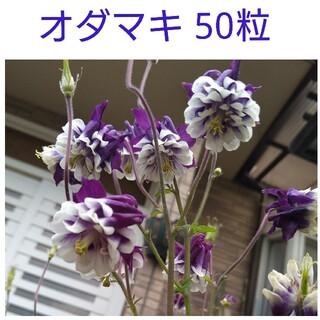 オダマキ種 50粒(その他)