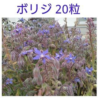 ボリジ種 20粒(その他)