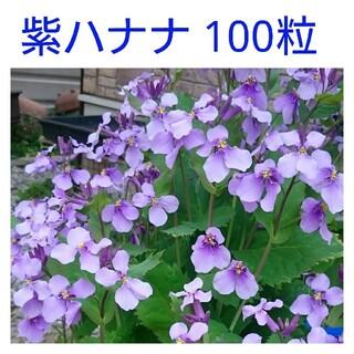 紫ハナナ種 100粒(その他)