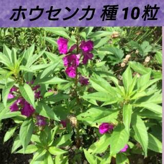 ホウセンカ種10粒以上(その他)