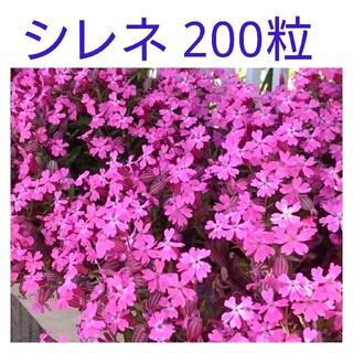 シレネ種 200粒(その他)