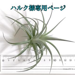 専用 コンフェッティ 子株 + ミニミニ4種D+ ストリクタレッドA(その他)