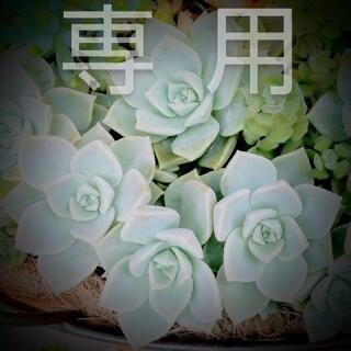 みるく様専用 黒薔薇2個、ノヴァ(その他)
