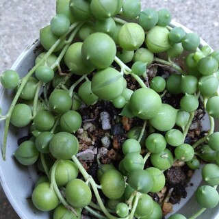 多肉植物  グリーンネックレス(その他)