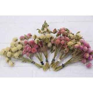 千日紅ピンク&白色★120本 短い枝付き/茎付き(ドライフラワー)