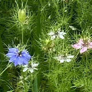 ニゲラ 花の種200粒(その他)