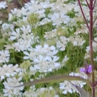 ホワイトレースフラワー の種(その他)
