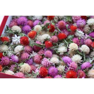 千日紅(小)赤.白.ピンク200個 今季収穫(ドライフラワー)
