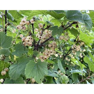 白実のカーランツ 種子 30粒(その他)