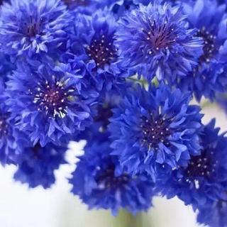 矢車菊の花色ミックス種30粒(その他)