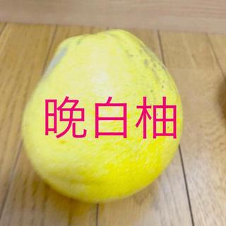 ザボン(晩白柚) 4cmポット入り1株(その他)
