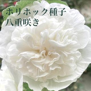 ホリホック☆タチアオイ☆八重咲き☆白☆花・種子(その他)