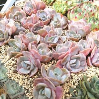 帰ってきたよ(*´ω`*)韓国苗 エケベリア ブルーサプライズ 双頭 多肉植物(その他)