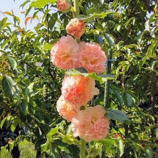 ホリホック  八重  オレンジ系  種(その他)