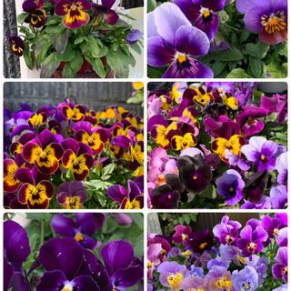 ビオラ紫混合種50粒(その他)