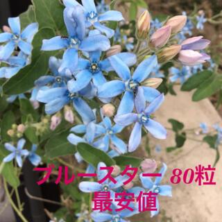 ブルースター 種 80粒(その他)