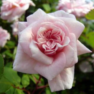 セシルブルンネ つるバラ ♡挿し木 小さい苗 四季咲き バラ苗 淡いピンクのバラ(その他)