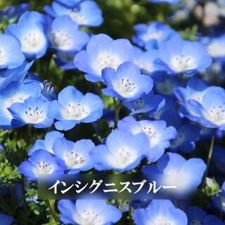 秋まき 花の種 ネモフィラ・インシグニスブルー 種 50粒(その他)
