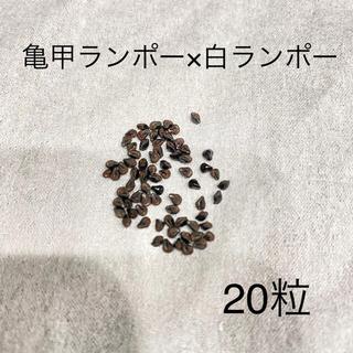 アストロフィツム 亀甲碧瑠璃ランポー × 白ランポー 種子 20粒(その他)