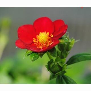 レア四季なりイチゴの種15粒(その他)