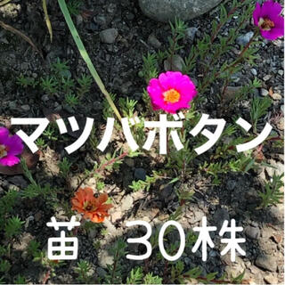 【ご相談用】マツバボタン 苗 30株 松葉牡丹(プランター)