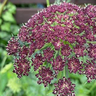 ダウカスダーラ 花の種 ブラックレースフラワー(その他)