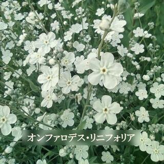 秋まき 花の種 オンファロデス・リニフォニア 種 50粒(その他)