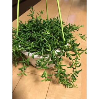 三日月グリーンネックレス カット苗10本 観葉植物 多肉植物(その他)