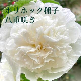 ホリホック☆タチアオイ☆立葵・白・八重咲き☆花・種子(その他)