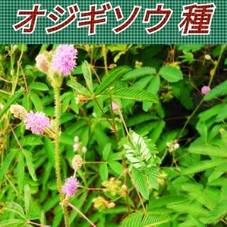 オジギソウ 種 60粒以上【まきどき】(その他)
