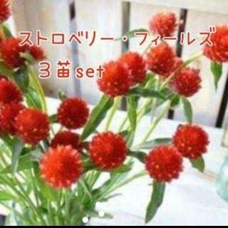 ストロベリー・フィールズ3苗set(その他)