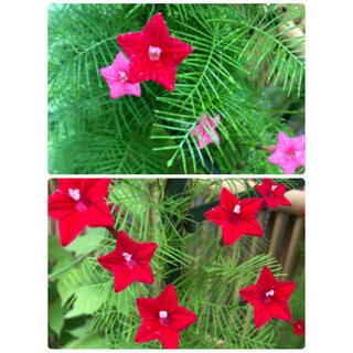 植物 グリーンレースカーテン ルコウソウ 星るこうそう 本年度取れた種 100粒(その他)