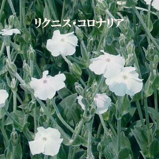 秋まき 花の種 リクニス・コロナリア(フランネルソウ) カラーリーフ 種 50粒(その他)