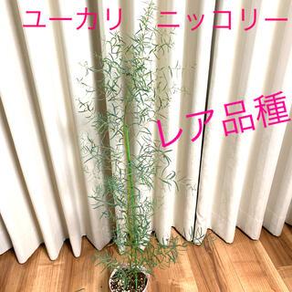 ユーカリ ニッコリー (Eucalyptus nicholii ) レア品種(その他)