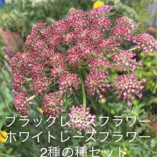 ブラックレースフラワー種 ホワイトレースフラワー種☆2種セット☆お得☆(その他)