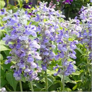 花の苗 宿根サルビア ブルーサルビア 苗(プランター)