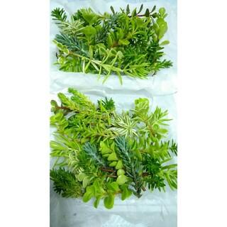 2パックセットで300円【送料無料】多肉植物 カット苗 セダム 寄せ植えにも(プランター)