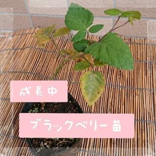 最終販売  無農薬 ブラックベリー 苗 挿し木 トゲなし (フルーツ)