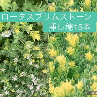一年中庭が彩る!もふもふで可愛いロータスブリムストーン 挿し穂15本(プランター)