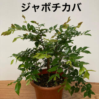 ジャボチカバ 1鉢(プランター)
