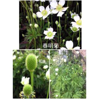春明菊 花苗 宿根草 2苗+オマケ苗 ホワイトガーデン 白い花(その他)