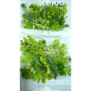 4パックセット【送料無料】多肉植物 カット苗 セダム 寄せ植えにも(プランター)