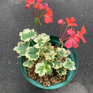 サーモンレッドのお花です 斑入りゼラニウム 4号サイズ苗(その他)