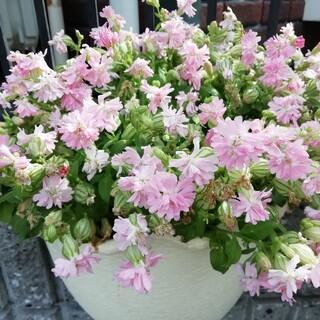 ♥️花の種 シレネピーチブロッサム(プランター)