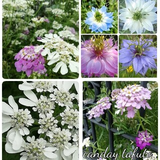 ♥️花の種 イベリスキャンディタフト オルレア ニゲラ(プランター)