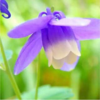 オダマキ 紫×白 種50粒 オルレアのおまけ付き(その他)